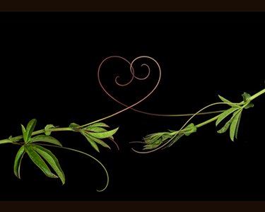 Passionvine tendrils form a heart