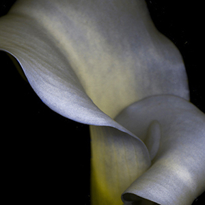 pink calla lily as it might be seen by someone with severe red-green color blindness