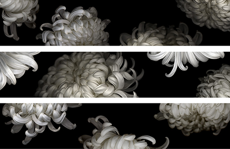 white chrysanthemums tumbling - special commission at 300 inches wide